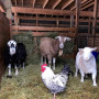 Some of the Residents at Wildwood Farm Sanctuary
