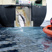 Minke whales, like sei whales, are targets of Japanese whaling. Here, two minke whales are dragge...