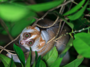 The Slow Loris monkey is one of the world's 25 most endangered primates.