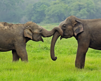 Asian elephants in the wild on the island of Sri Lanka.