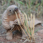 A baby pangolin. Pangolins are reported to be the world's most trafficked mammal.