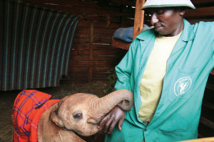 An orphaned baby elephant and the keeper who hand raises her at the David Sheldrick Wildlife Trust with the goal of reintegrating her back into the Kenyan wildlife.